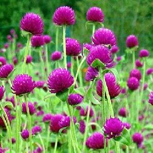 Fresh Gomphrena Globosa Flower