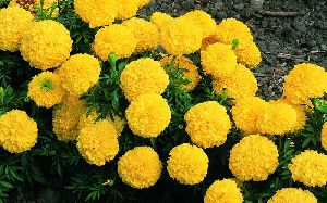 Fresh Marigold Flower