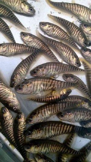 Chital Fish Seeds