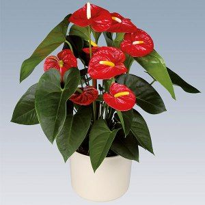 Anthurium pot plant