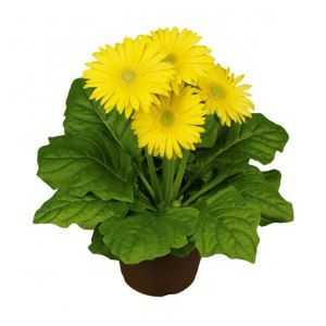 Gerbera Daisy Plant