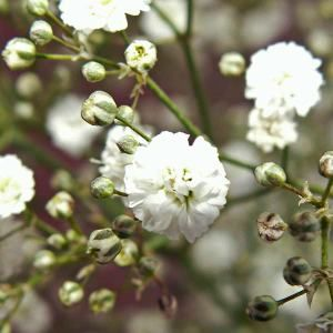 Gypsophila Young Plants