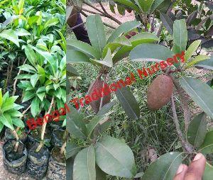 Thai Chiku Plants