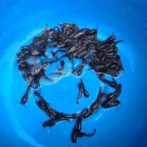 Karimeen Fish Seed