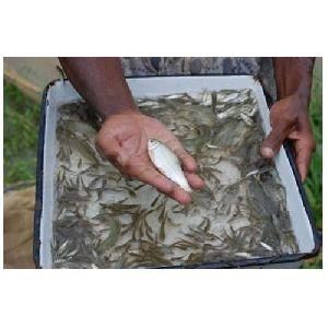 Tilapia Fish Seed