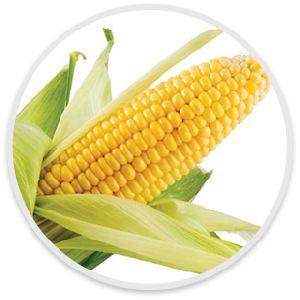 Fresh sweet corn on cob