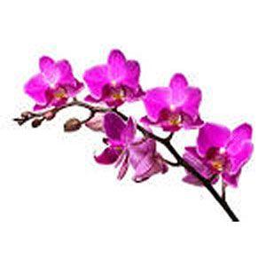 Orchid (dendrobium)