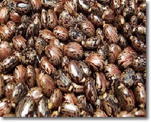 Hybrid Castors Seeds