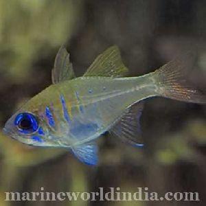 Blue Eyed Cardinal Fish