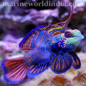 Blue Green Mandarin Fish