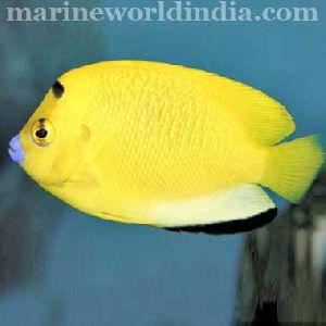 Blue Lipstic Angel Fish