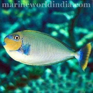 Blue Spot Vlamingi Tang Fish
