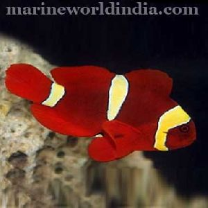 Gold Stripe Maroon Clown Sea Fish