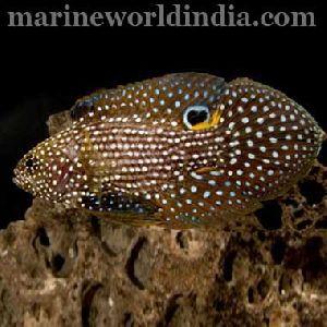 Marine Betta Fish