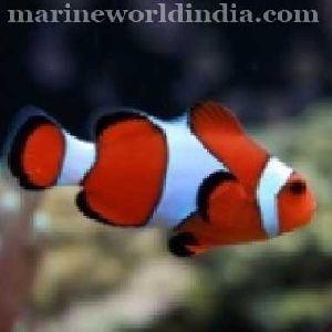 Red Percula sea fish