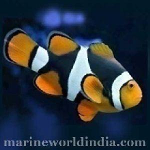 True Onyx Percula sea fish
