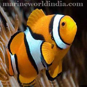 True Percula sea fish