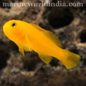 Yellow Clown Goby Fish