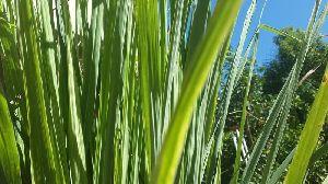 Lemongrass Leaves & Rhizome Tea