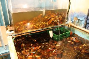 live and frozen lobster