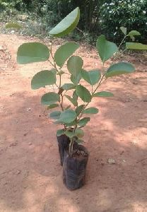 Red Sandalwood Plant