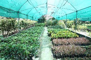 Ashokatree Plant
