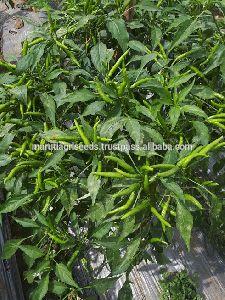 Maruti - Kirti Chilli Seeds