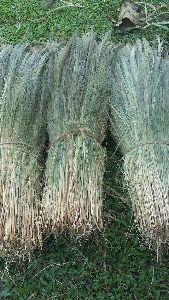 Silchar Broom Grass