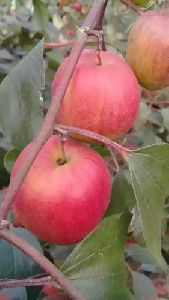Kashmiri Apple Ber Plant