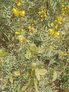 Senna Plants