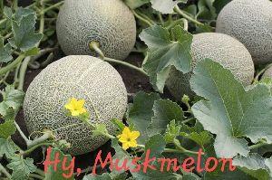 Hybrid Muskmelon Seeds