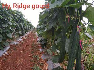 Hybrid Ridge Gourd Seeds