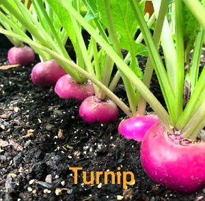 Turnip Seeds
