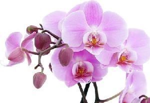 Silk Artificial Orchid Flower
