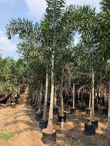 Fox Tail Palm Plant
