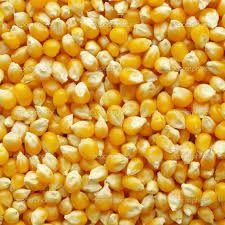 Fresh Yellow Maize Seeds