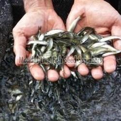 Grass Carp Fish Seed