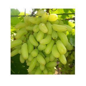 Fresh Indian Grapes