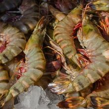 Shrimps in Maharashtra - Manufacturers and Suppliers India