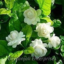 Jasmine Flowers Jasmine Buds Suppliers Jasmine Flowers
