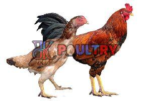 Live Nattu Koli Chicken