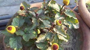 Akarkara Flower