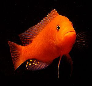 Malas Aquarium Fish Farms Breeder & Wholesaler - gold fish Manufacturer