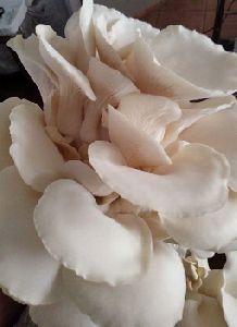 Fresh White Oyster Mushrooms