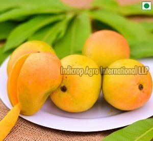Alphonso Mangoes at Best Price from Hapoos Aam Suppliers