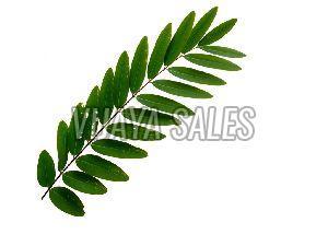 Fresh Senna Leaf