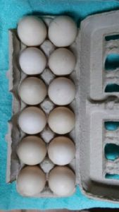 Duck Hatching Eggs