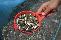 Big Head Fish Seeds