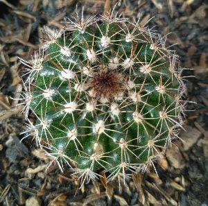 Notocactus Plant