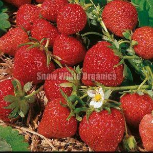 Strawberry Plants At Best Price From Strawberry Plants